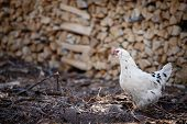 White Chickens On A Farm In Nature. Hens On A Free-range Farm. Chickens Walk In The Yard Of The Farm poster