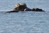 Seals (spotted Seal, Largha Seal, Phoca Largha) Laying On The Rock In  Sea Water In Sunny Day. Wild  poster