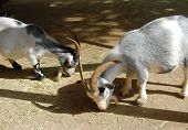foto of pygmy goat  - two pygmy goats eating at petting zoo - JPG
