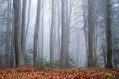 Mysterious dark beech forest in fog. Autumn morning in the misty woods. Magical foggy atmosphere. La poster