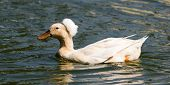 pic of crested duck  - Photo of crested duck taken at Goldenwest Park in Huntington Beach California - JPG
