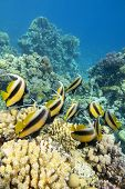 Colorful Coral Reef At The Bottom Of Tropical Sea, Shoal Of Schooling Bannerfish (heniochus Diphreut poster