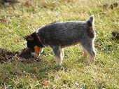 image of blue heeler  - a curious blue heeler puppy examines a hole in the yard - JPG