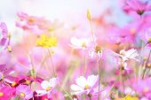 Colorful Pink Flowers Cosmos In The Garden On Fresh Bright Day / Beautiful Cosmos Flower In Nature poster