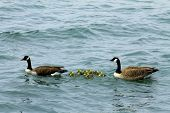 image of baby goose  - Canadian goose family together with baby gos - JPG