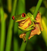 Little green frog with red eyes sitting on exotic plant, wild nature of Costa Rica, Central America,