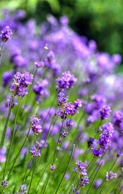 image of lavender field  - purple lavender flowers blooming in the garden - JPG