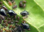 foto of wrecker  - Macro photo extreme close up aphid on a leaf  - JPG