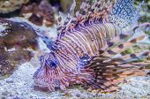 picture of lion-fish  - a poisonous and exotic zebra lion fish