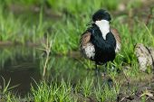 foto of spurs  - A Spur-Winged Lapwing (Vanellus Spinosus) with its feathers ruffled beside a pond
