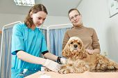 image of veterinary surgery  - Female veterinarian surgeon worker making blood test to spaniel dog in veterinary surgery clinic - JPG