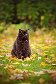 picture of portrait british shorthair cat  - chocolate british shorthair cat walking outdoors in autumn - JPG