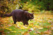 stock photo of portrait british shorthair cat  - chocolate british shorthair cat walking outdoors in autumn - JPG