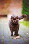 image of portrait british shorthair cat  - beautiful british shorthair cat walking outdoors in autumn - JPG
