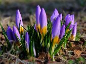 stock photo of germination  - Germinating crocuses in the spring sunshine on Jasne Blonia in Stettin in Poland - JPG