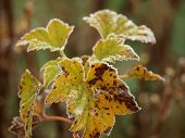 stock photo of bohemia  - Leaves covered with frost - JPG