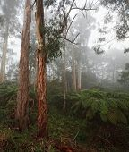 picture of mountain-ash  - Mountain ash and Eucalyptus trees in the Dandenong Mountains - JPG