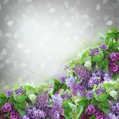 pic of lilac bush  - Bush of  of Lilac flowers   on gray bokeh  background - JPG