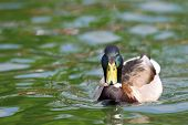 image of male mallard  - male mallard duck  - JPG