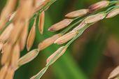 foto of rice  - Close up Rice Farm - JPG