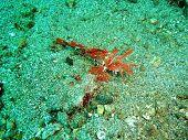 stock photo of hairy  - Hairy Scorpionfish photo took underwater off Manado island Indonesia - JPG