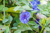 foto of butterfly-bush  - Butterfly pea flower medicinal herbs to treat disease - JPG