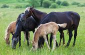foto of horses eating  - Horses and foals eat a grass on a summer pasture - JPG