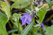 foto of blue-bell  - Beauty blue garden bell summer cloudy day - JPG