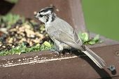 stock photo of bridle  - Bridled Titmouse  - JPG
