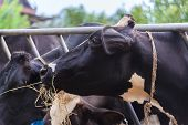 picture of dairy barn  - cows in a farm Dairy cows eating in a farm location Thailand - JPG
