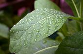 stock photo of tobacco leaf  - Close up of large green tobacco leaf covered with rain drops at later afternoon - JPG
