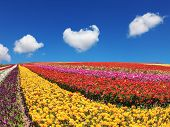 picture of buttercup  - Clear sunny spring day in southern Israel - JPG