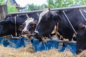 image of cow  - cows in a farm Dairy cows eating in a farm location Thailand - JPG