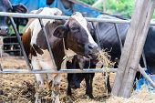 picture of cow  - cows in a farm Dairy cows eating in a farm location Thailand - JPG