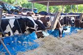 stock photo of cow  - cows in a farm Dairy cows eating in a farm location Thailand - JPG