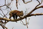 stock photo of koala  - Koala in Great Ocean Road - JPG
