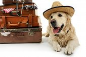 stock photo of labradors  - Cute Labrador in hat with suitcases isolated on white - JPG