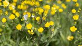 picture of buttercup  - Butterfly on Buttercup Flower with grass around it - JPG
