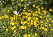 stock photo of buttercup  - Butterfly on Buttercup Flower with grass around them - JPG