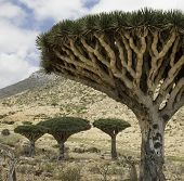 picture of dragon  - Dragon Blood Tree - JPG