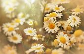 stock photo of daisy flower  - Chamomile  - JPG