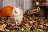 foto of pomeranian  - Adorable pomeranian in the leaves - JPG