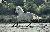 stock photo of wild horse running  - Portrait of the Running White Camargue Horses in Parc Regional de Camargue - JPG