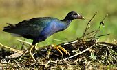 picture of greater antilles  - Purple Swamphen  - JPG