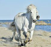 pic of wild horse running  - Portrait of the Running White Camargue Horses in Parc Regional de Camargue - JPG