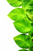 image of ivy  - Close up leaf of Green Ivy isolated on white background - JPG