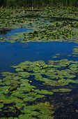 pic of water lily  - Yellow Water - JPG