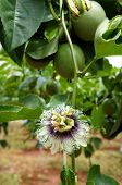 image of creeper  - Agriculture field passion fruit is nutrition Vietnam fruit rich vitamin C healthy food creeper with full of passionfruit beautiful flower on farm - JPG