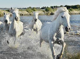 image of hackney  - Herd of White Horses Running and splashing through water - JPG