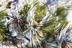 image of pine-needle  - Snow and iced pine trees on sunny winter day - JPG